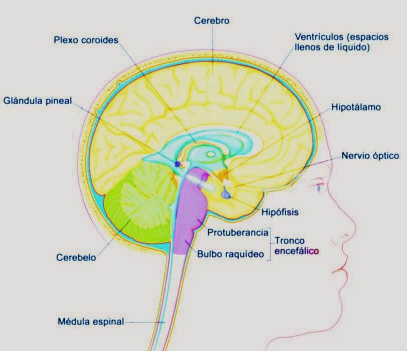 Bulbo Raquídeo: Definición, características, función, anatomía y más