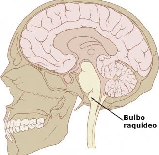 Bulbo Raquídeo: Definición, características, función, anatomía, partes y más