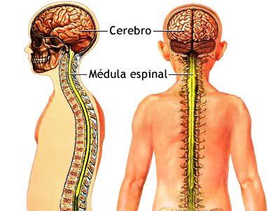 Médula Espinal ¿qué es?. Características, importancia y mucho más