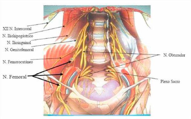 Aprende todo sobre el nervio ilioinguinal y como afecta al cuerpo humano