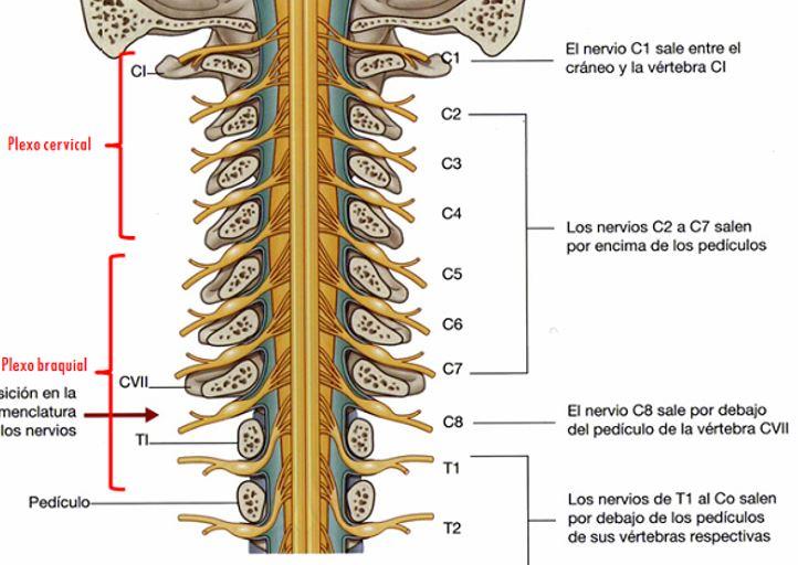 Conociendo los pares de Nervios Espinales o cervicales