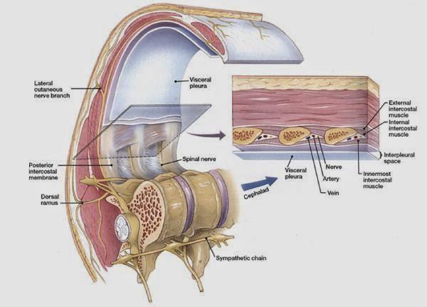 Conozca todo sobre los nervios intercostales y su importancia