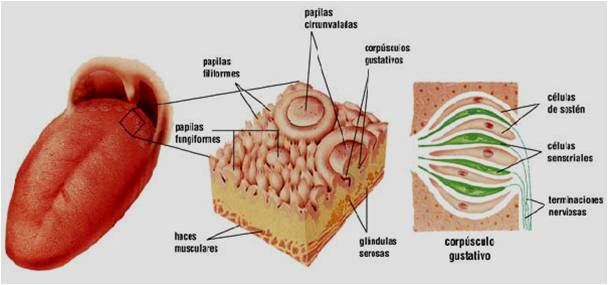 Papilas gustativas: anatomía, función, tipos, enfermedades y mucho más