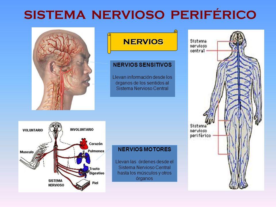 Sistema Nervioso Parasimpático: ¿Qué es?, funciones y más