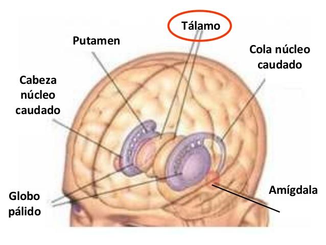 Tálamo: ¿qué es?, función, anatomía, núcleos, características y más
