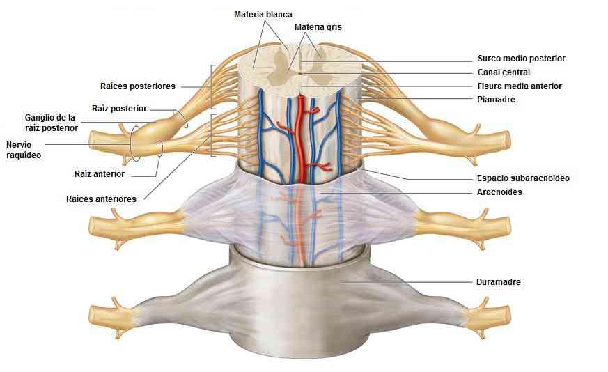 Médula espinal 5