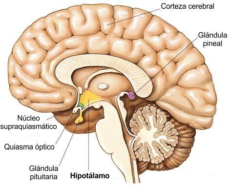 Hipotálamo: ¿qué es?, función, anatomía, características, importancia