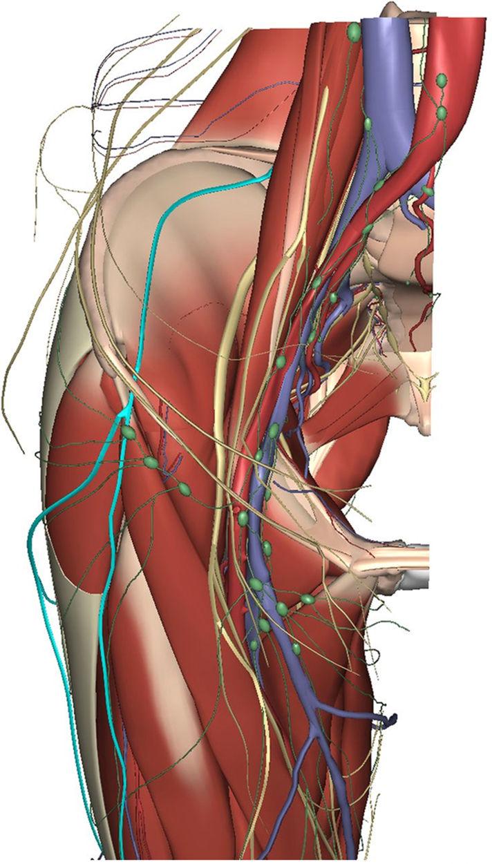 Nervio femorocutáneo: Anatomía, lesiones, dolor, taratamiento y más