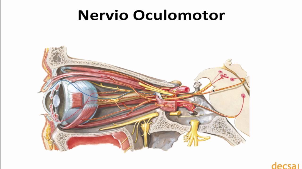 Conociendo el Nervio Motor Ocular Común y sus funciones