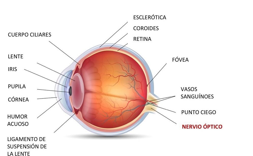 Nervio Óptico definición, anatomía, fisiología, características y ...