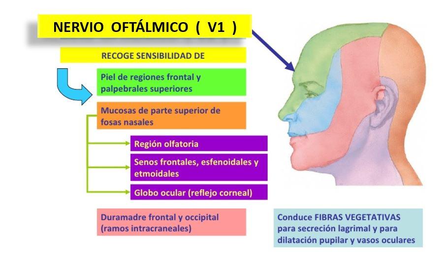 Nervio Trigémino ¿Qué es?, anatomía, función, ramas, enfermedades más