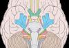 Nervios Craneales: origen, ubicación, clasificación, funciones y más