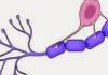 Oligodendrocitos: ¿qué son, función, histología y más