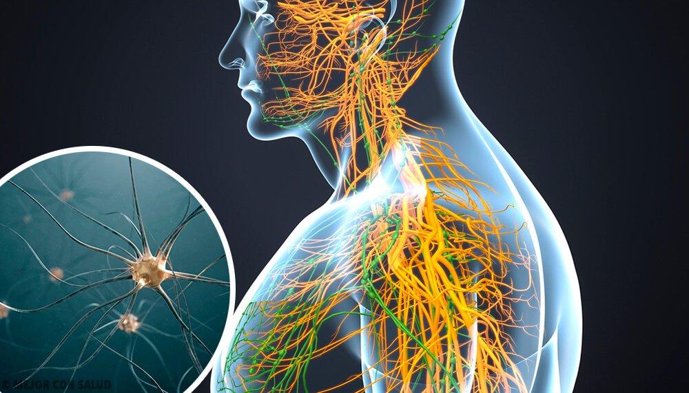 Conociendo los Órganos del Sistema Nervioso y su importancia