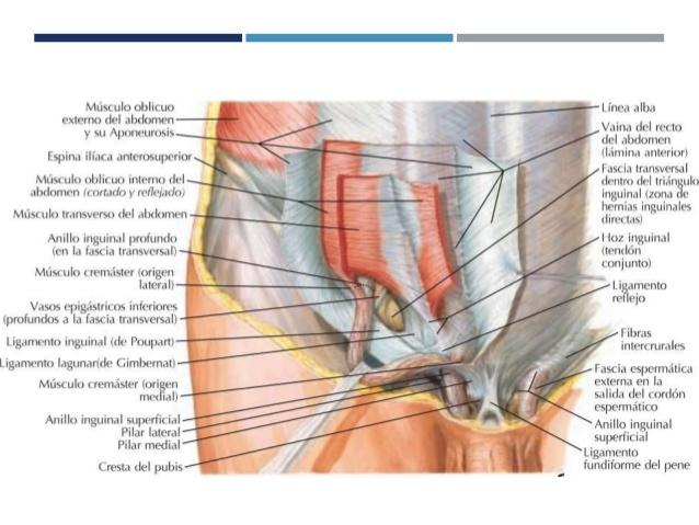 Conociendo todo sobre el nervio iliohipogástrico