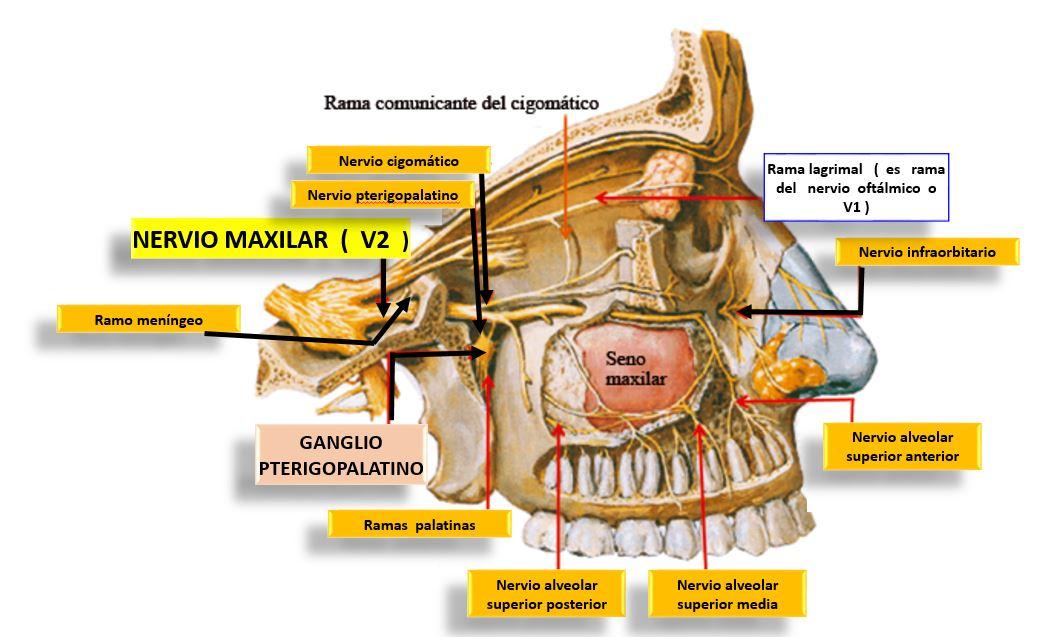 Nervio Olfatorio ¿qué es?, anatomía, ramas, patologías y mucho más
