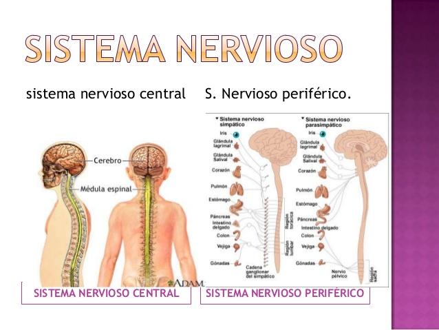 Aprendamos todo sobre las Funciones del sistema nervioso