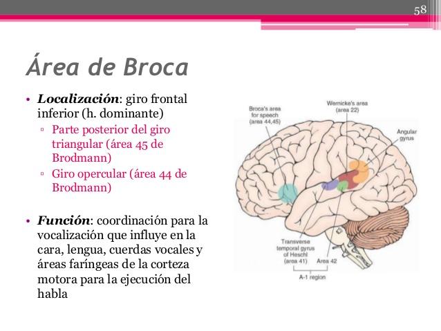 Conoce todo sobre el área de Broca, su función y muchos más.
