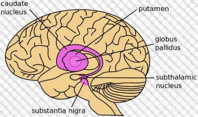 núcleo caudado
