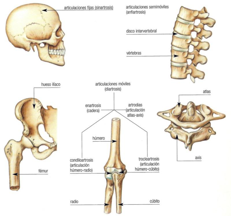 Anfiartrosis: Definición, tipos, ejemplos e importancia