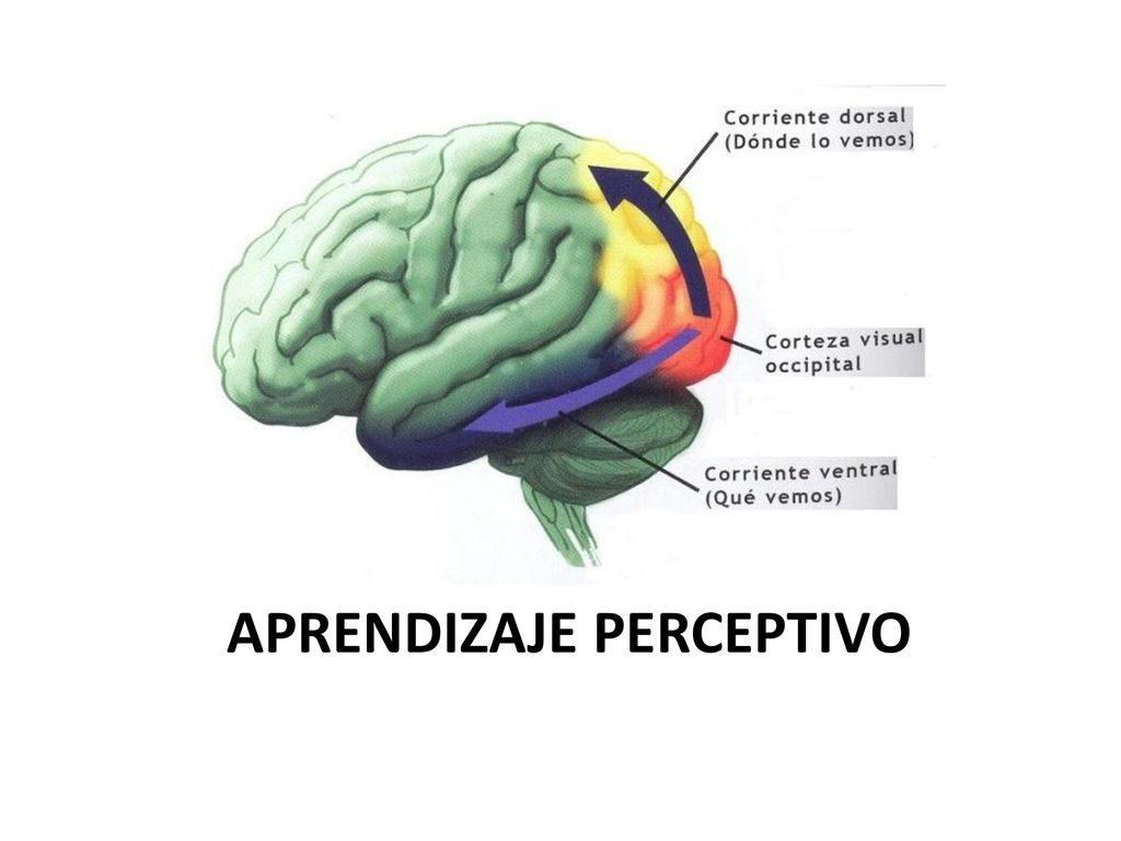 Sustancia negra: definición, función, su relación con el Parkinson y más