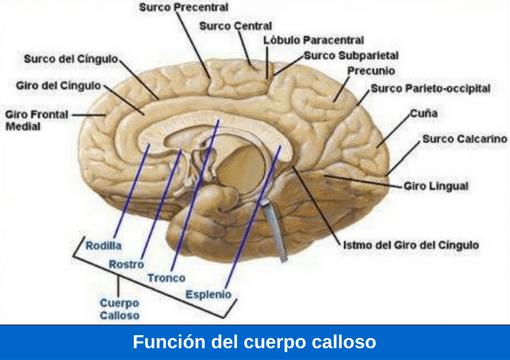 Cuerpo calloso: definición, anatomía, funciones, partes, ubicación y más