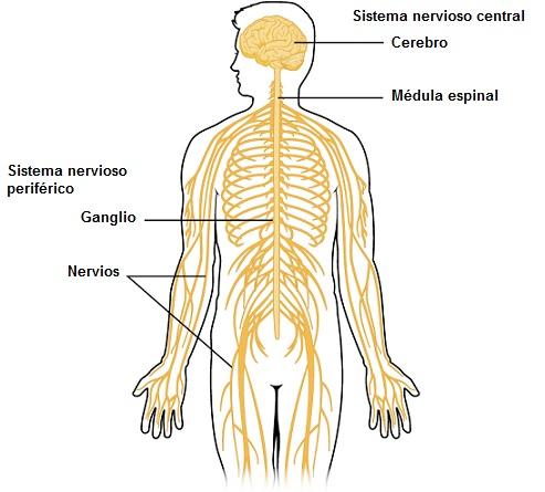 Enfermedades Del Sistema Nervioso Perif C A Rico on Unlabeled Eye Diagram Color
