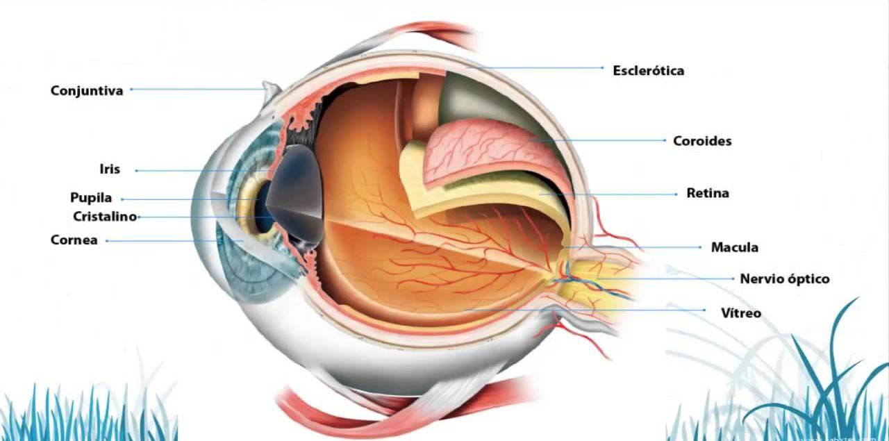 Qué es el ojo? Funciones, anatomía y fisionomía, partes, estructura ...