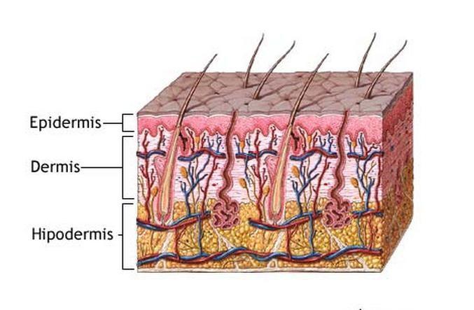 Qué es la piel? Características, anatomía, función, capas ...