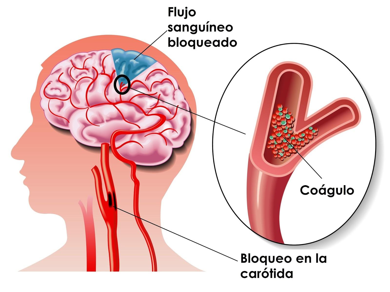 Sistema circulatorio: definición, características, importancia ...