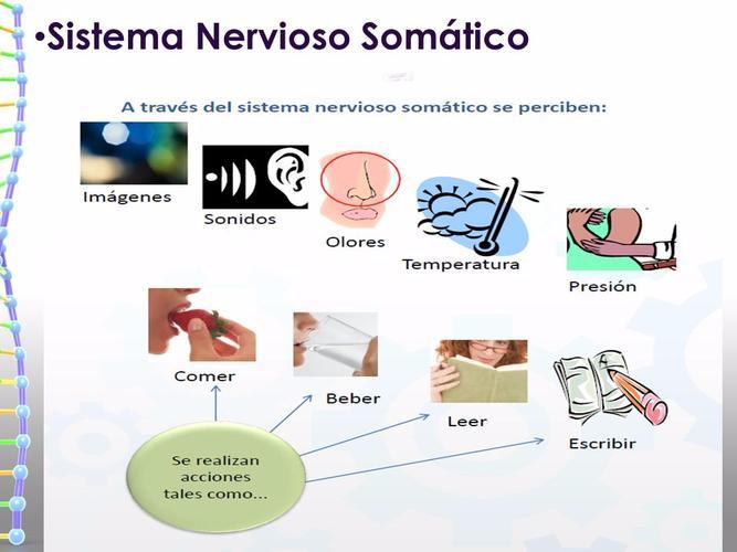 Sistema Nervioso Somático: funciones, características, fisiología y más