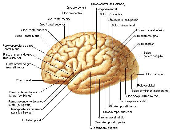 Telencéfalo: anatomía, función, hemisferios y más sobre este tema
