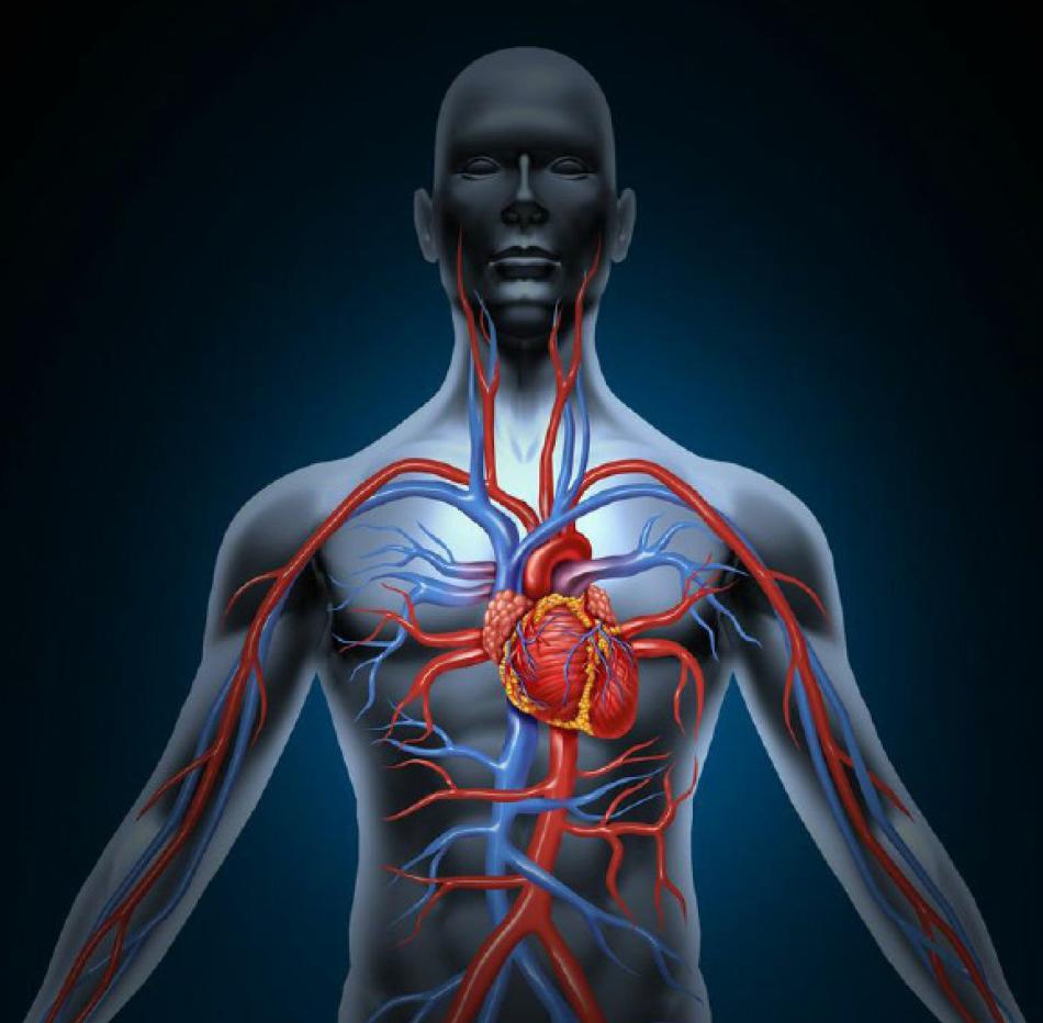 Arteria Aorta: ¿Qué es? Anatomía, función, recorrido, ubicación y más