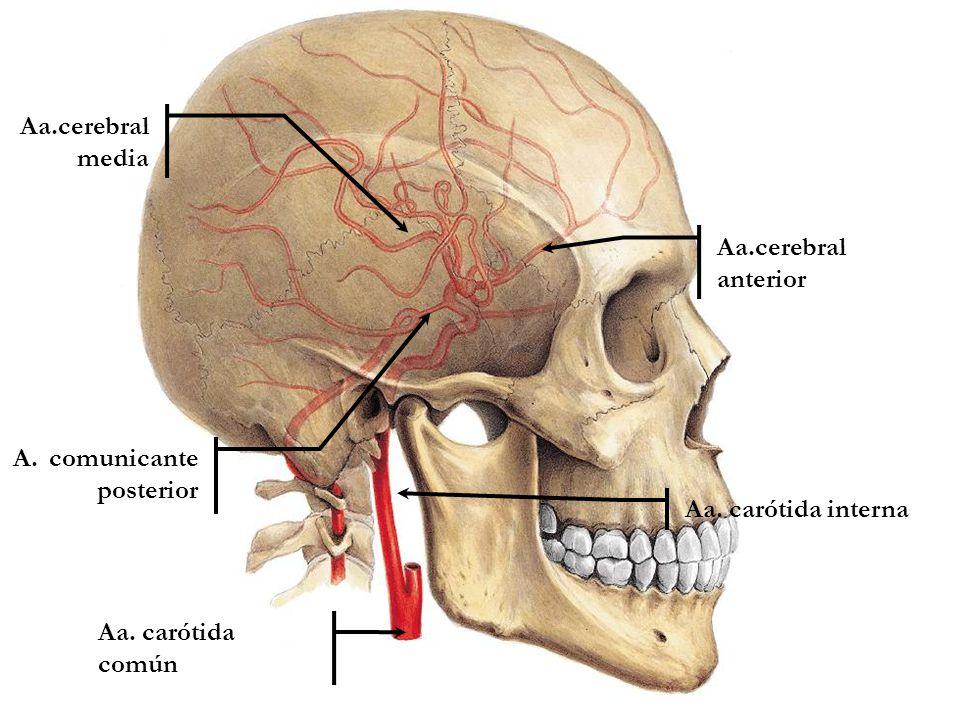 Arteria carótida: ¿Qué es? Anatomía, función, ubicación, y mucho más