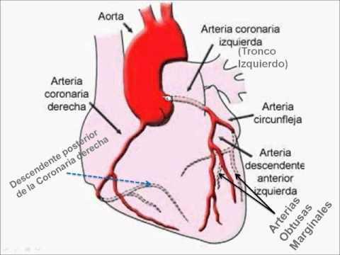 Arteria coronaria: ¿qué es? Función, enfermedades, ramas y mucho más