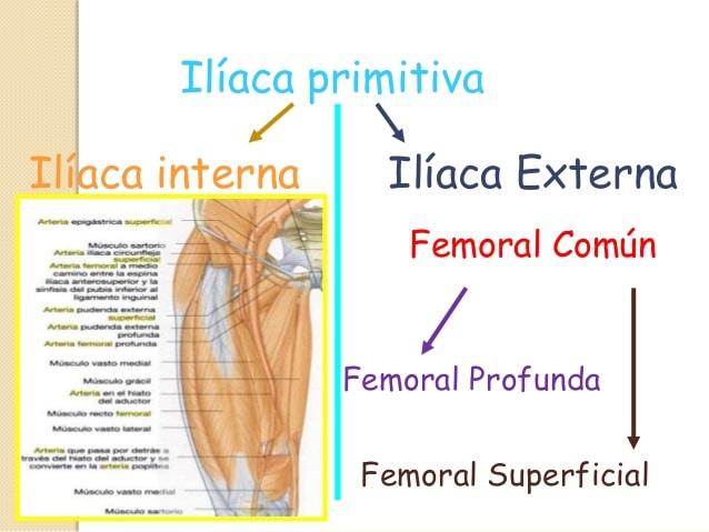 Arteria Femoral: anatomía, función, ubicación, ramas y más