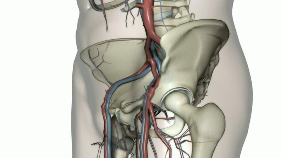Arteria ilíaca: función, interna, externa, común y más