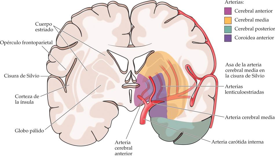 Arterias cerebrales: anatomía, funciones, media, posterior, anterior ...