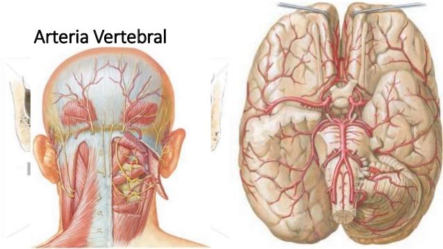 Arteria vertebral: anatomía, ramas, recorrido, izquierda, derecha y más