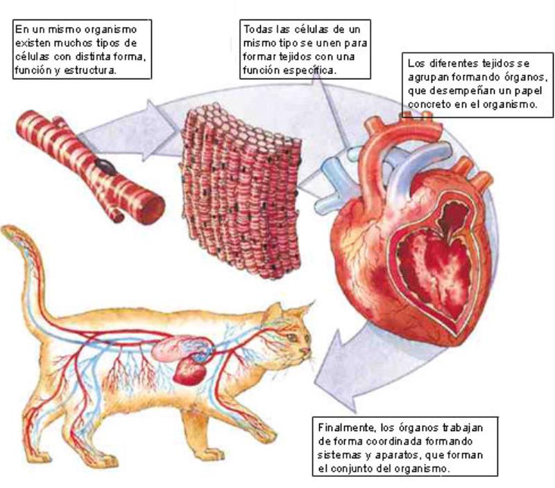Aprenda todo sobre los órganos del sistema circulatorio