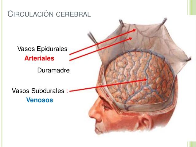Circulación cerebral: Anatomía, fisiología, anterior, posterior y más