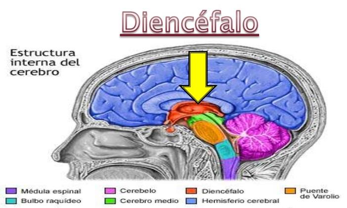 Diencéfalo: definición, función, anatomía, partes y más