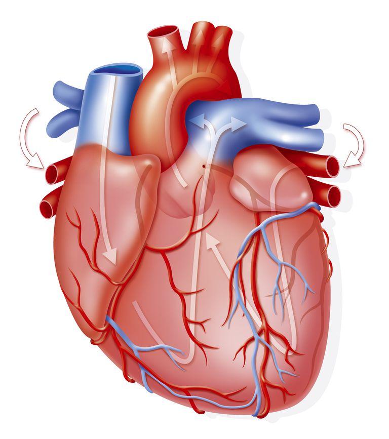 El corazón: ¿qué es? Importancia, función, anatomía, y mucho más