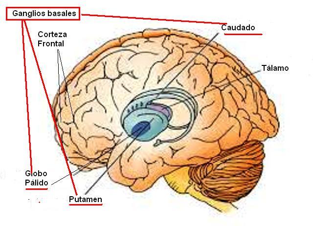 Ganglios basales: ¿qué son? Anatomía, fisiología, funciones, ubicación.