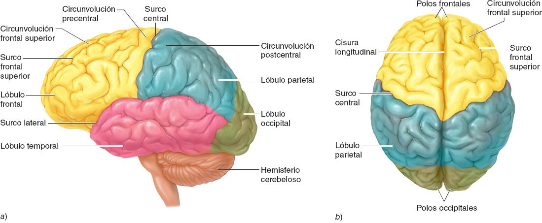 Lóbulo Parietal: ¿Qué es? Anatomía, funciones, ubicación y más