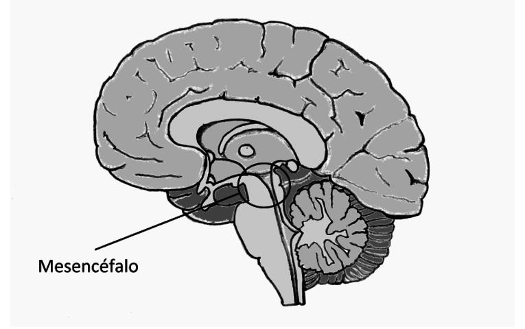 Mesencéfalo: definición, características, función, anatomía y más