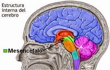 Mesencéfalo: definición, características, función