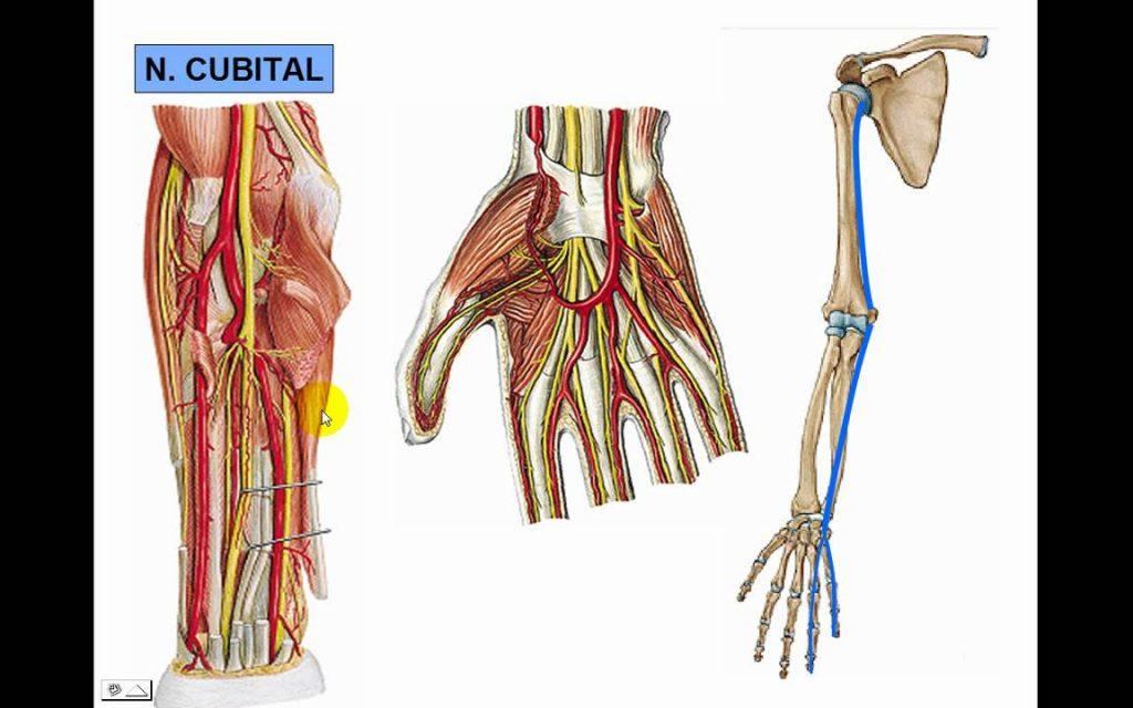 Nervio Cubital: ¿Qué es?, función, anatomía, recorrido y mucho más