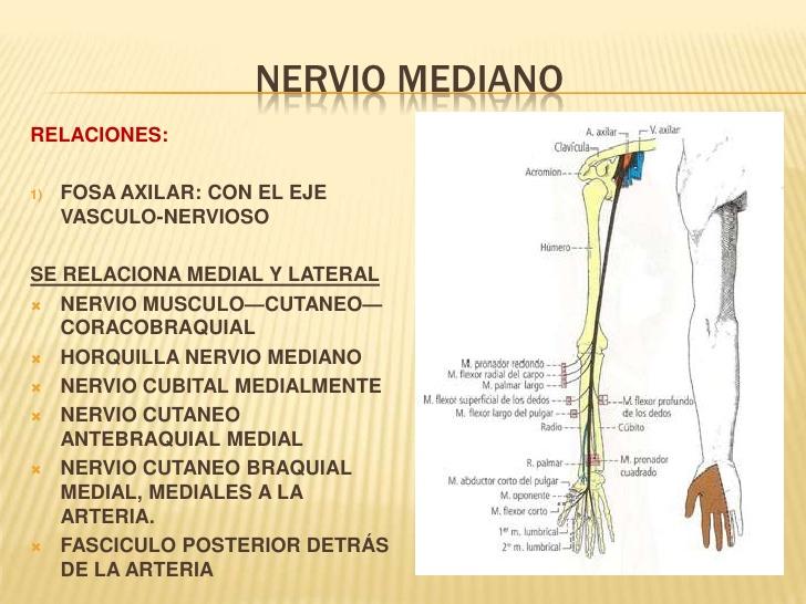 Nervio mediano: anatomía, función, lesiones, tratamientos y más