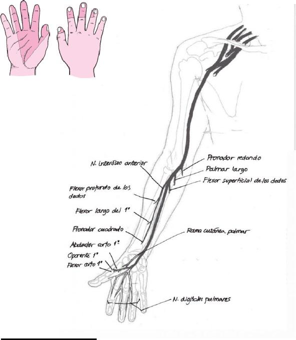 Nervio mediano 6